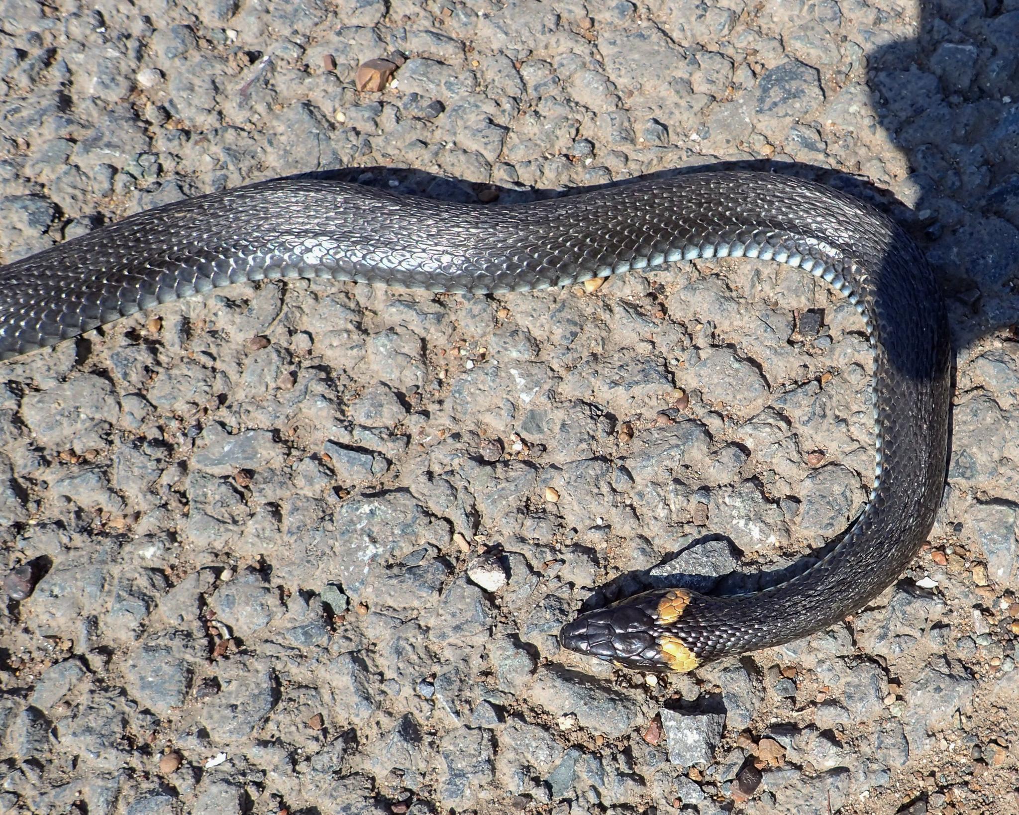 Grass Snake (Natrix natrix) in Kazakhstan