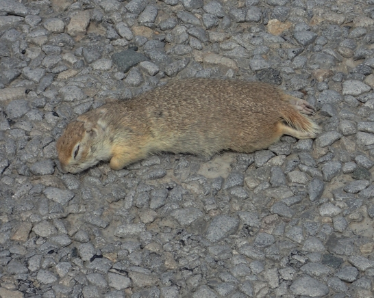 Bobak Marmot (Marmota bobak), also known as the Steppe Marmot