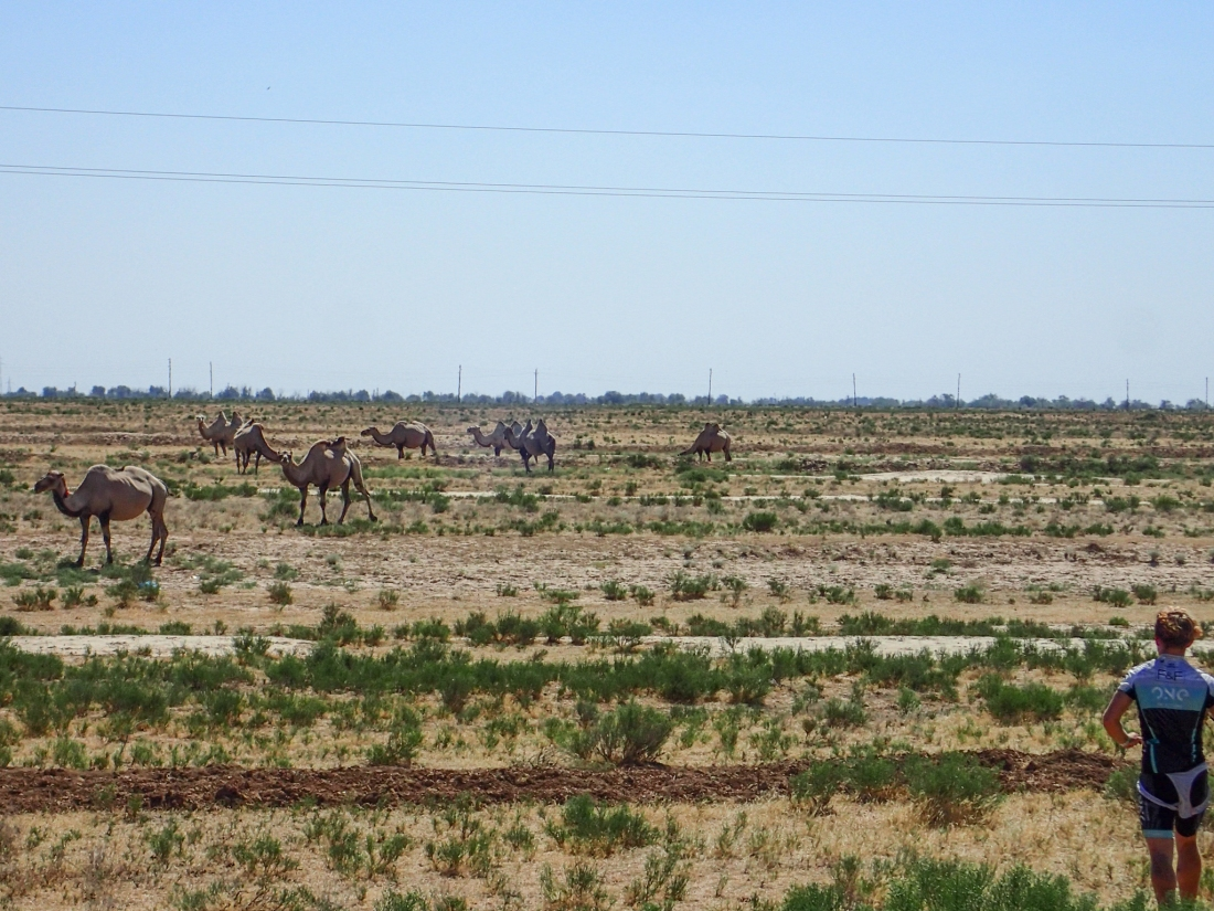 Camels from the road