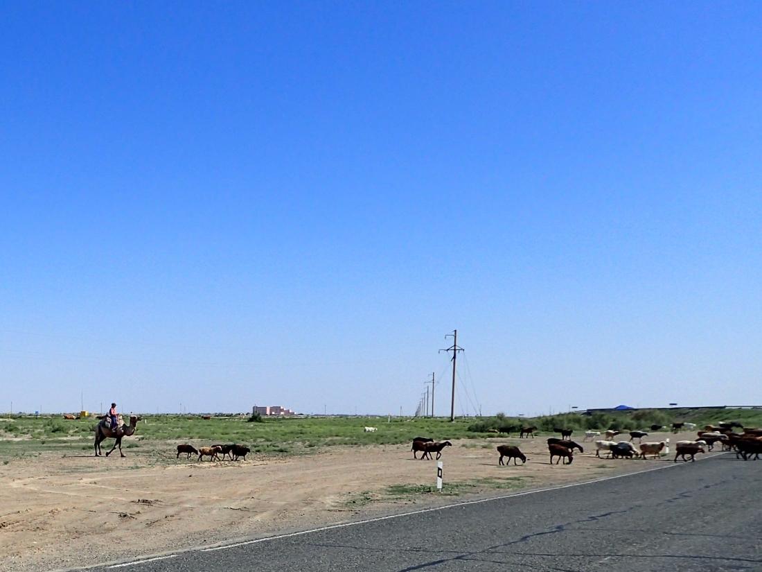 Goat herder on a camel