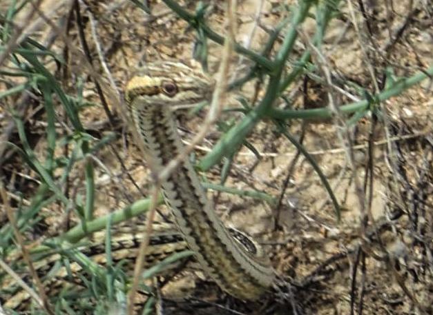 Smooth Snake (Coronella austriaca), beside the road