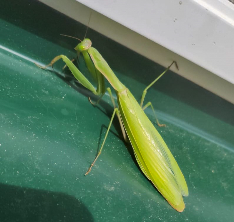 European mantis (Mantis religiosa) - probably