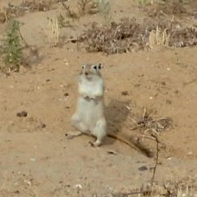 Great Gerbil (Rhombomys opimus), possibly