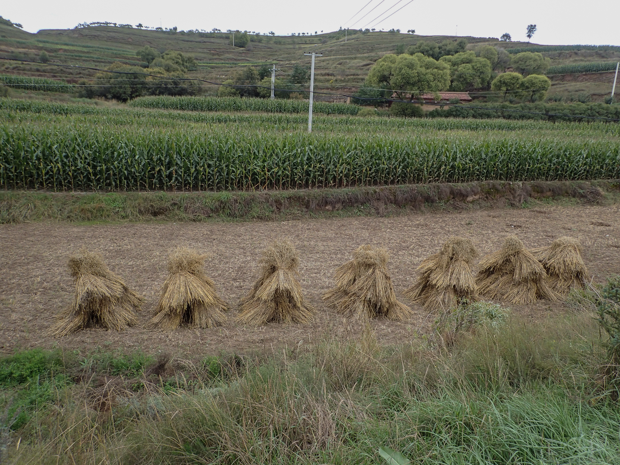 Traditional corn stacks
