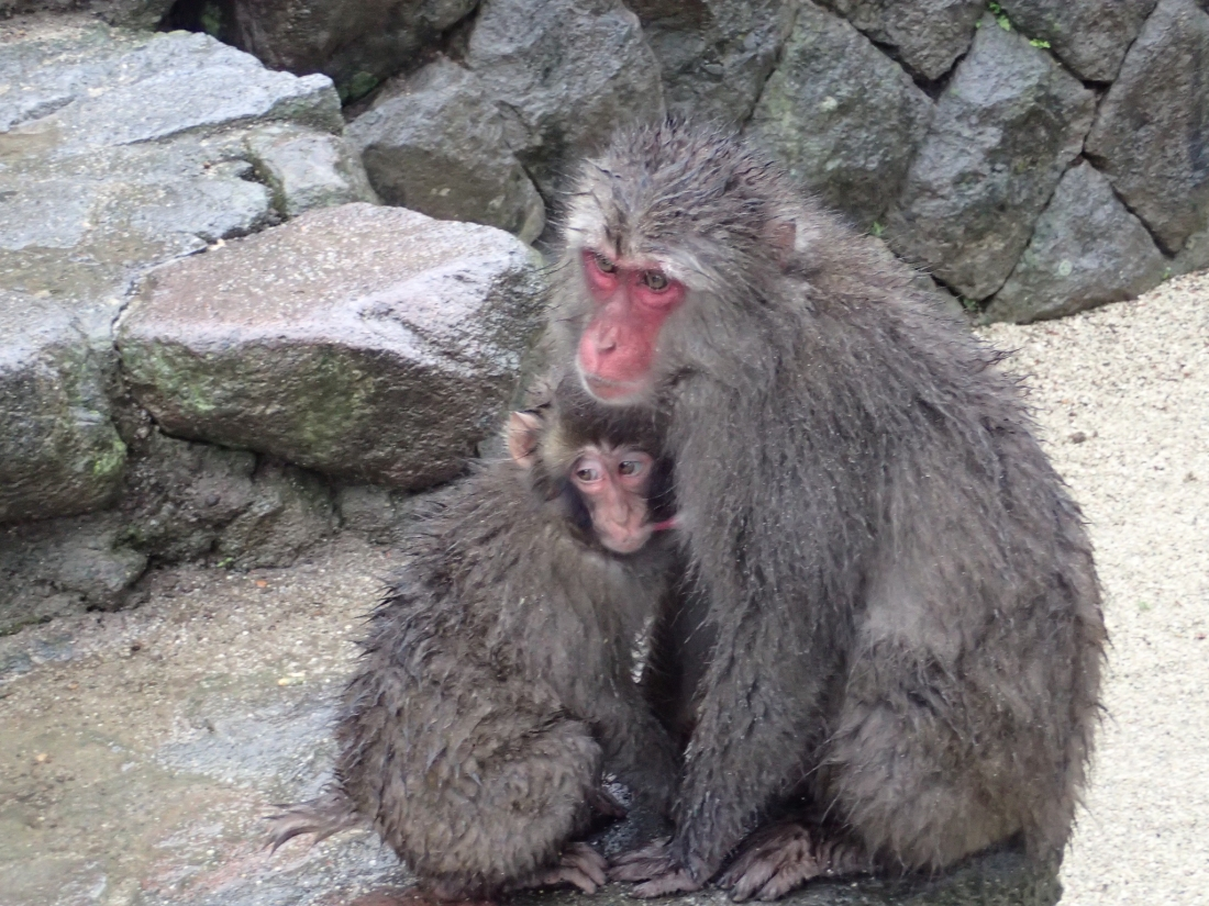 Japanese macaque (Macaca fuscata), also known as the snow monkey