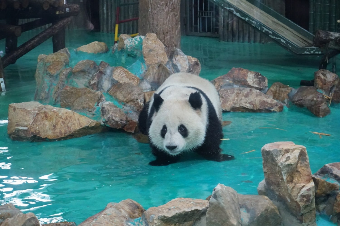Panda at Shanghai zoo