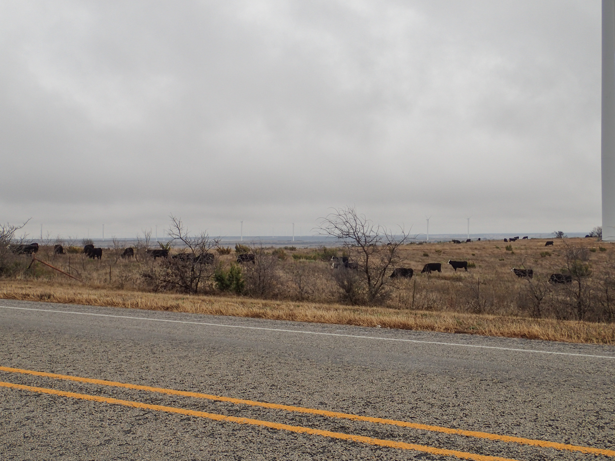 Hereford cows in West Texas (I'm guessing from the white faces)