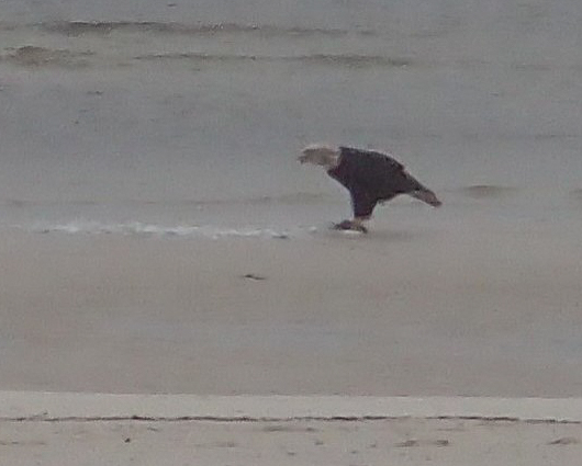 Bald Eagle feeding on the beach