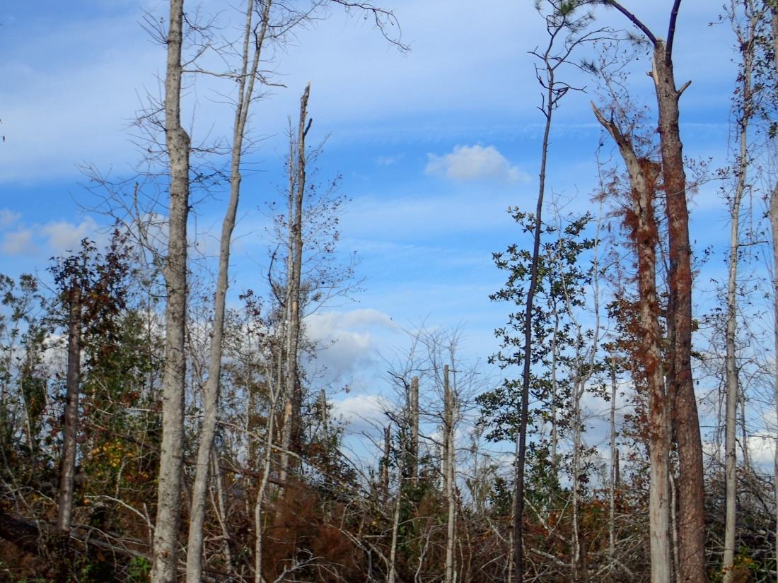 Storm damaged trees - a tornado has been thru recently