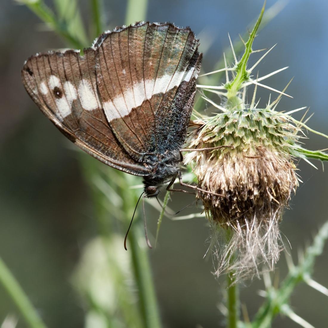 Butterfly on the trail to Bhudar Kedar, Uttarakhand, India. Trek Day 7.