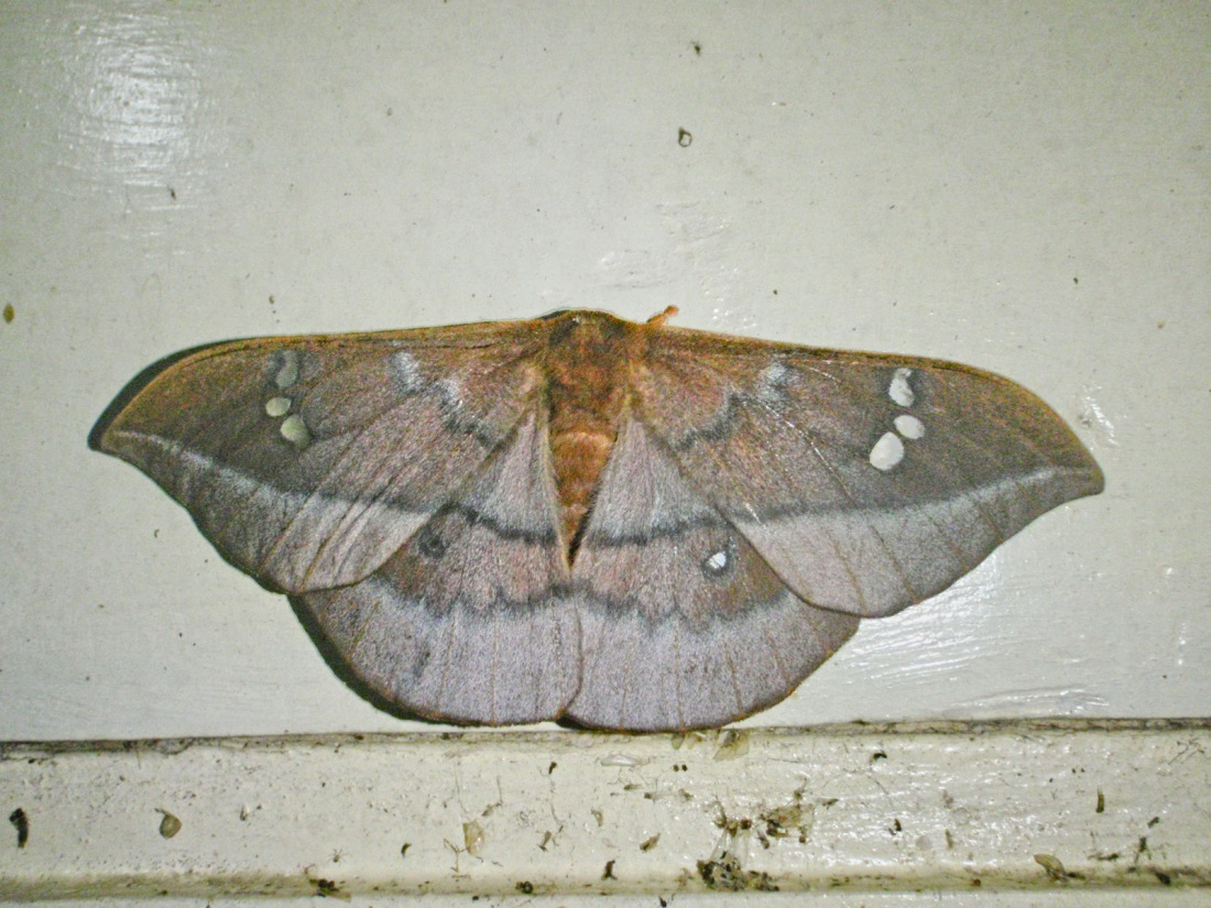 Unknown moth at Kumily, Periyar, Kerala, India