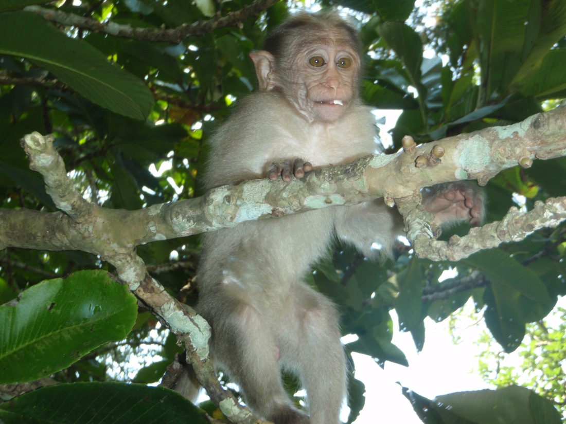 Unknown primate at Kumily, Periyar, Kerala, India