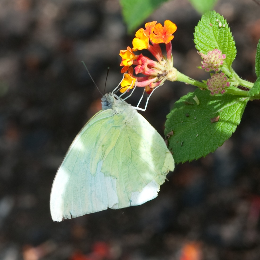 Butterfly at Kappad Beach, Kerala, India