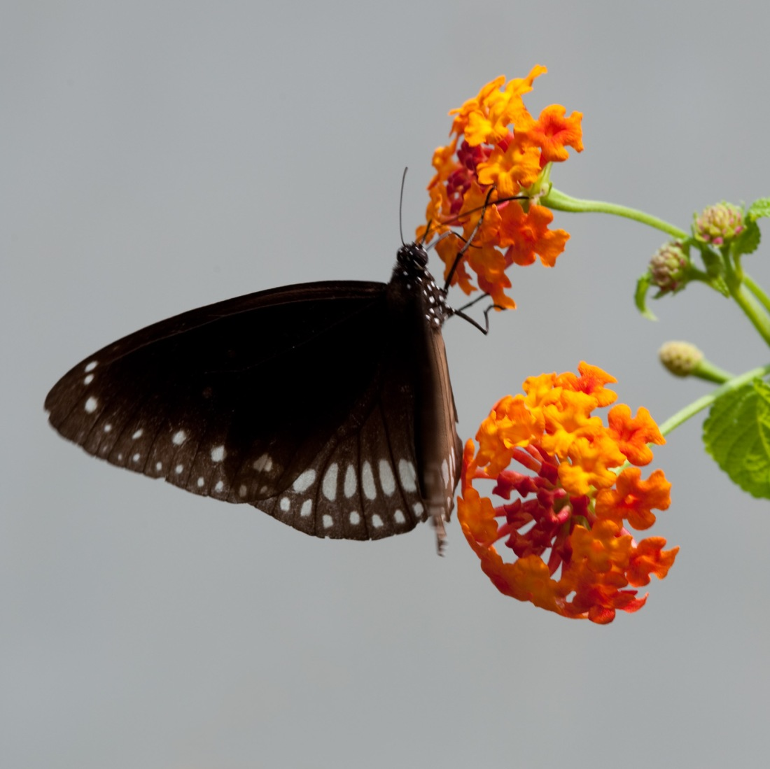 Common Crow (Euploea core) at Kappad Beach, Kerala, India