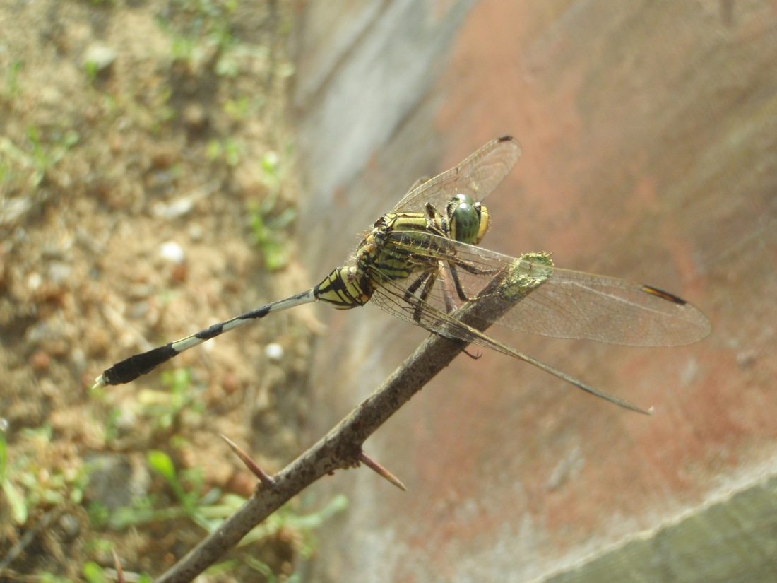 Green Marsh Hawk (Orthetrum sabina) at Chavakkad, Kerala, India