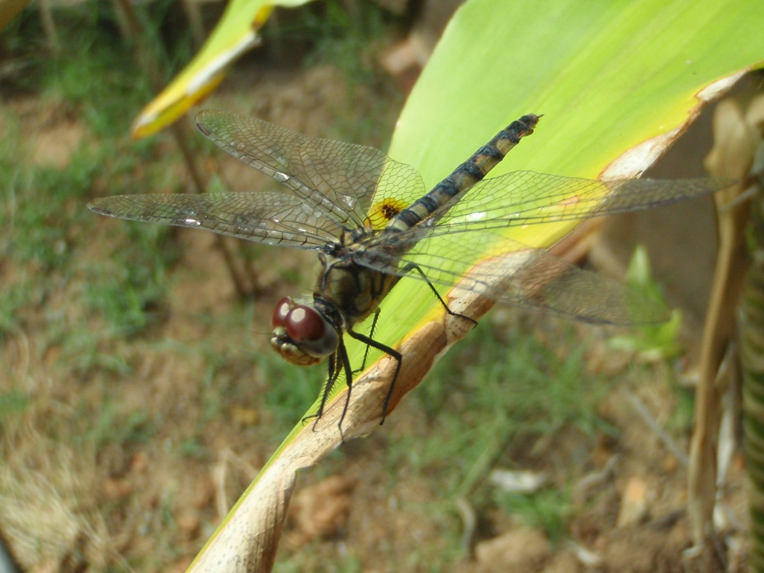 Unknown dragonfly at Chavakkad, Kerala, India