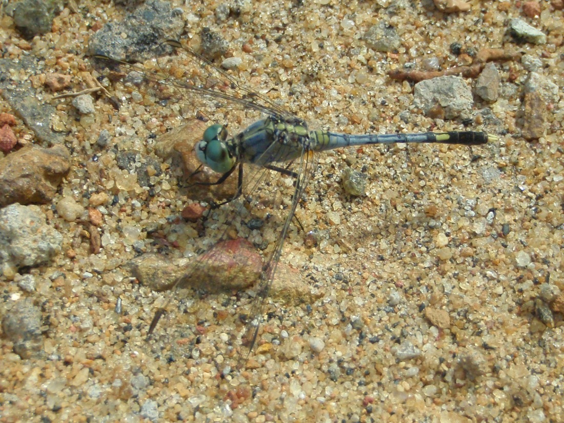 Ground Skimmer (Diplacodes trivialis) at Chavakkad, Kerala, India